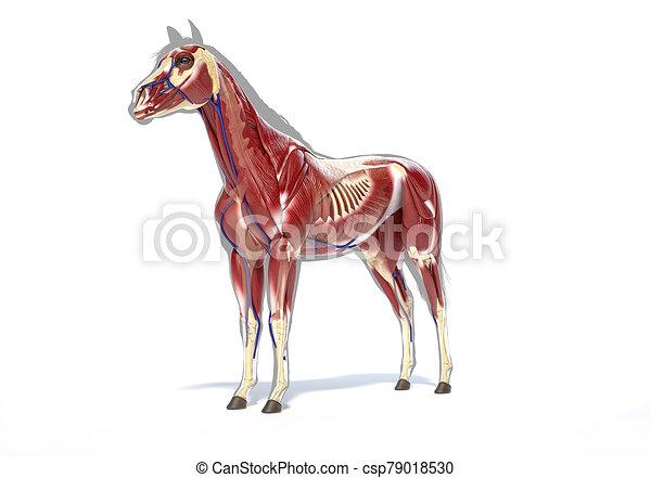 muskulös, pferd, system., anatomy. - csp79018530