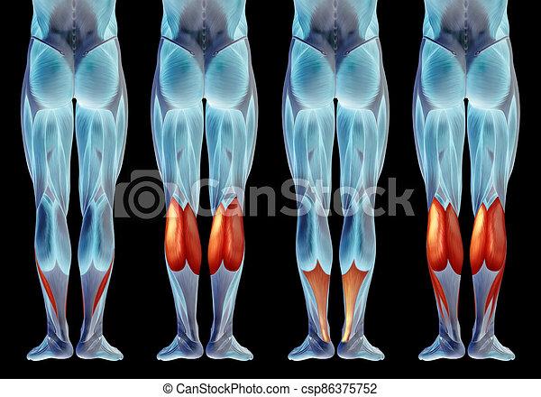oder, muskel, satz, bein, senken, koerperbau, anatomisch, sammlung, menschliche , 3d - csp86375752