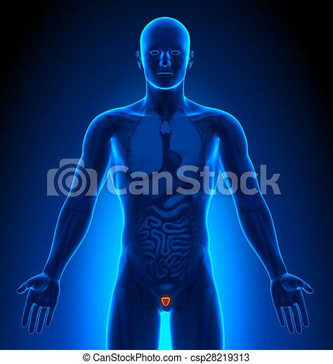 Medizinische Bildgebung - männliche Organe - Prostata - csp28219313