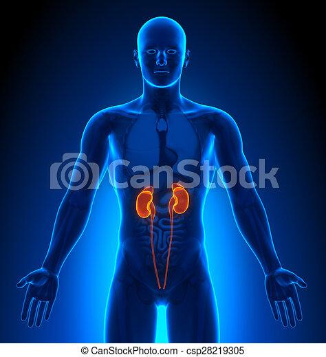 organe, medizin, -, imaging, mann, nieren - csp28219305
