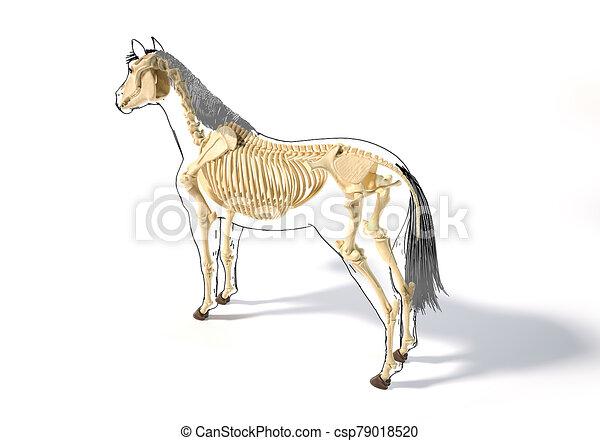pferd, skelettartig, system., anatomy. - csp79018520