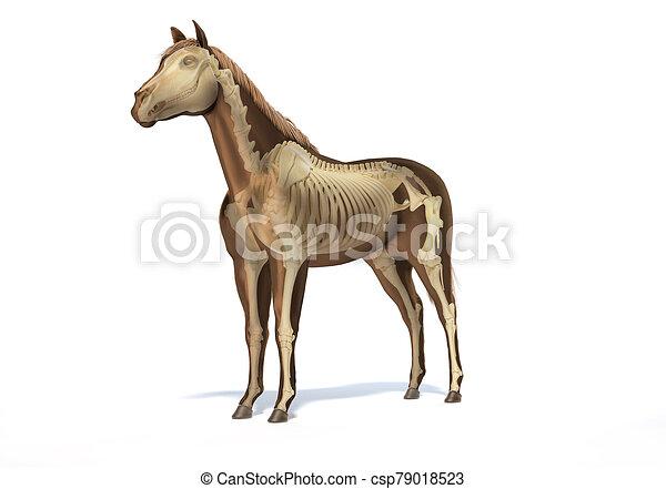 pferd, skelettartig, system., anatomy. - csp79018523