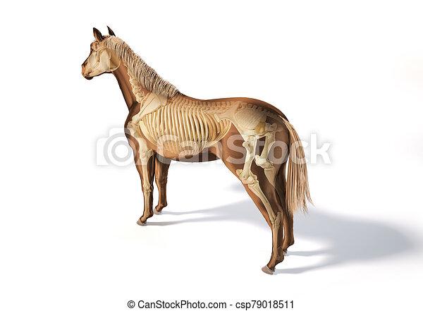 pferd, skelettartig, system., anatomy. - csp79018511
