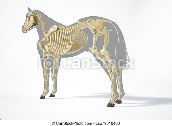 pferd, skelettartig, system., anatomy. - csp79018480