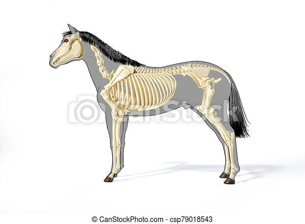 pferd, skelettartig, system., anatomy. - csp79018543