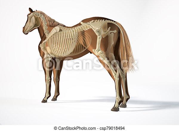 pferd, skelettartig, system., anatomy. - csp79018494