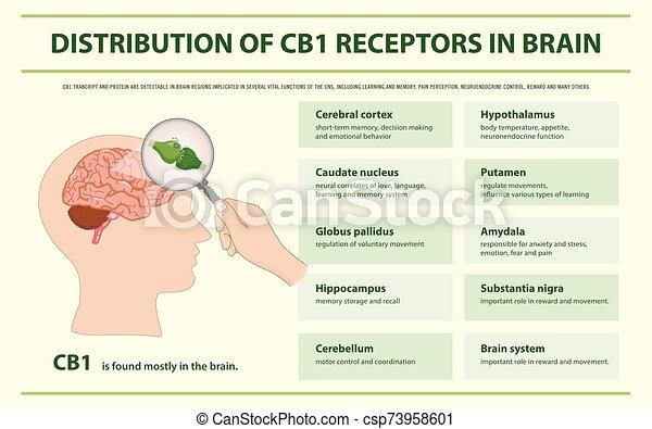 rezeptoren, gehirn, infographic, verteilung, cb1, horizontal - csp73958601