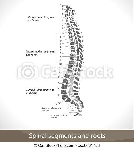 Spinale Segmente und Wurzeln. - csp6661758