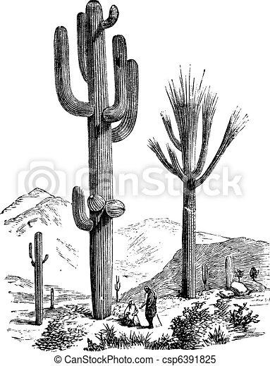 Saguaro oder Carnegiea Gigantea Vintage Gravur - csp6391825