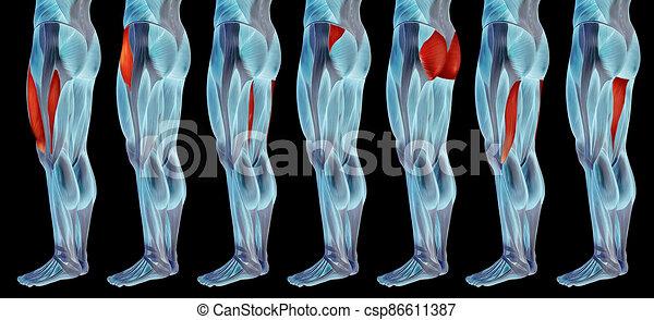 satz, bein, höher, menschliche , oder, koerperbau, 3d, anatomisch, muskel, sammlung - csp86611387