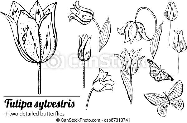 satz, tulips., weißer hintergrund, freigestellt, gegenstände, schwarz - csp87313741