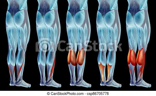 satz, unterschenkel, koerperbau, anatomisch, muskel, oder, sammlung, menschliche , 3d - csp86705778