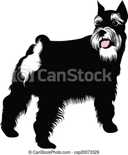 schnauzer, miniatur, hund - csp20073329