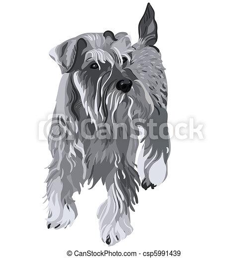 schnauzer, miniatur, vektor, hund - csp5991439