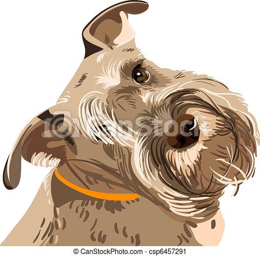 schnauzer, rasse, hund, miniatur, vektor, closeup - csp6457291