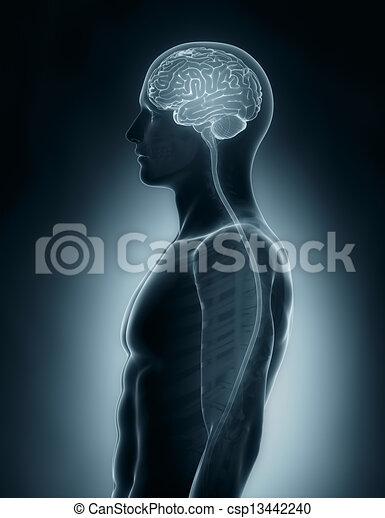 schnur, gehirn, medizinische ultraschallaufnahme, rückenmarks röntgenaufnahme - csp13442240