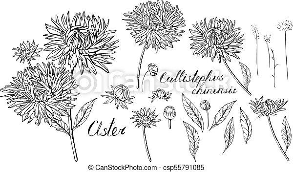 Schwarz und weiß mit Sternblumen. Objekte, isoliert auf weißem Hintergrund - csp55791085
