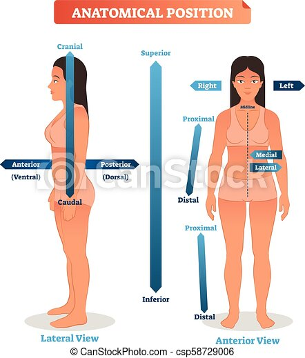 seitlich, mittler, illustration., überlegen, vektor, stellen, anatomisch, minderwertig, vorhergehend, brunnen, hinterteil, seiten, schema, proximal, distal, positionen - csp58729006