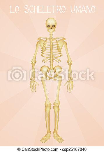 skelett, menschliche  - csp25187840
