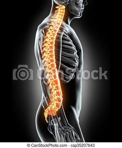 Skeleton-System - Röntgen menschliche Wirbelsäule. - csp35207643