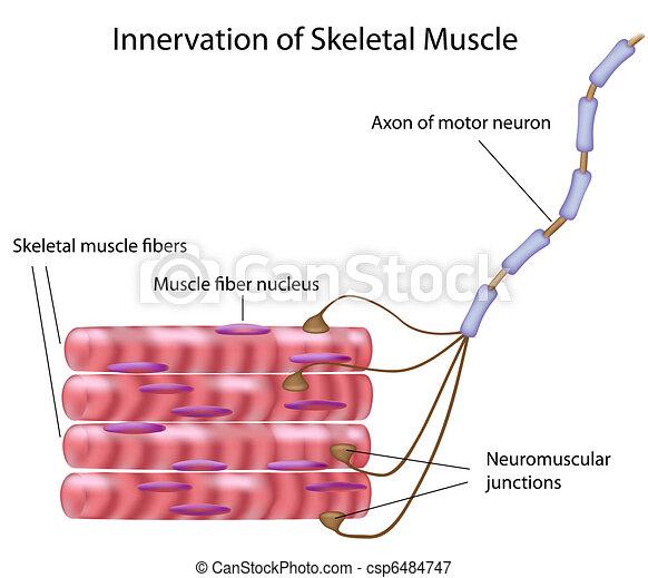 Skelettmuskel, - csp6484747