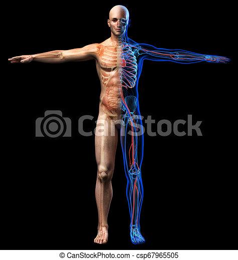 Skelett, innere Organe und Röntgen- Herz-Kreislauf-System. - csp67965505