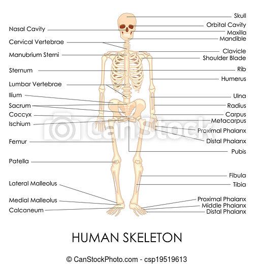 Menschliches Skelett - csp19519613