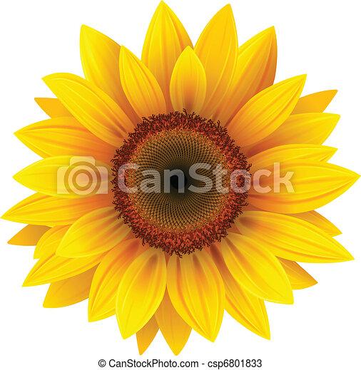 Sonnenblume - csp6801833