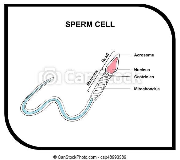 sperma zelle, koerperbau, diagramm, menschliche  - csp48993389