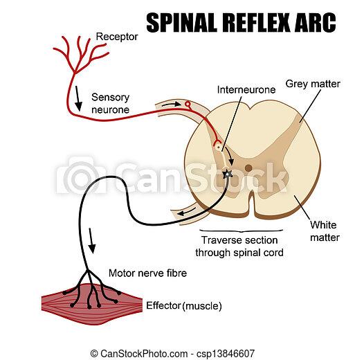Spinalreflex Arc - csp13846607