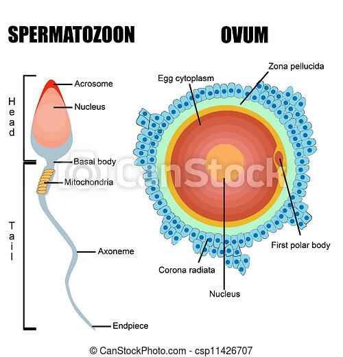 Struktur menschlicher Gameten: Ei und Sperma - csp11426707