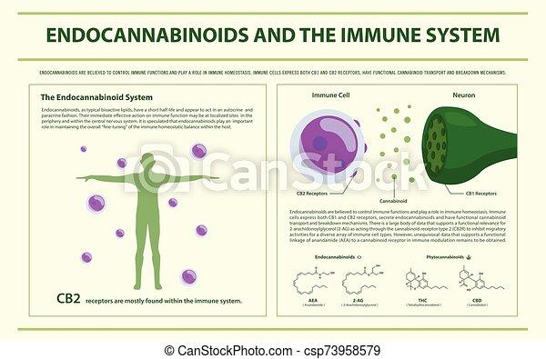system, infographic, horizontal, endocannabinoids, immun - csp73958579