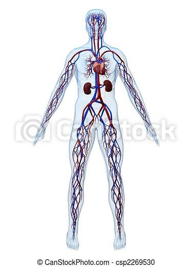 Herz-Kreislauf-System - csp2269530