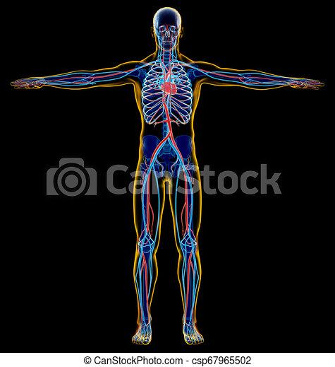 Skelett und Herz-Kreislauf-System. Röntgen. - csp67965502