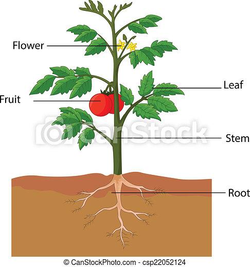 Zeigt die Teile einer Tomatenpflanze - csp22052124