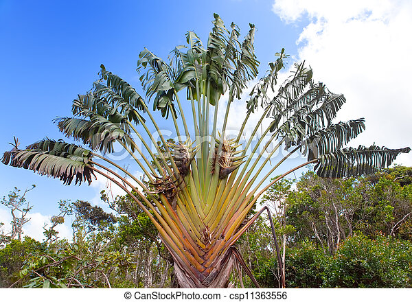 "Travelers Baum (Ravenala Madagaskariensis) , Park ""Black River Gorge"". Mauritius - csp11363556"