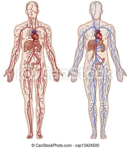 vaskulär, blut, system - csp13424500