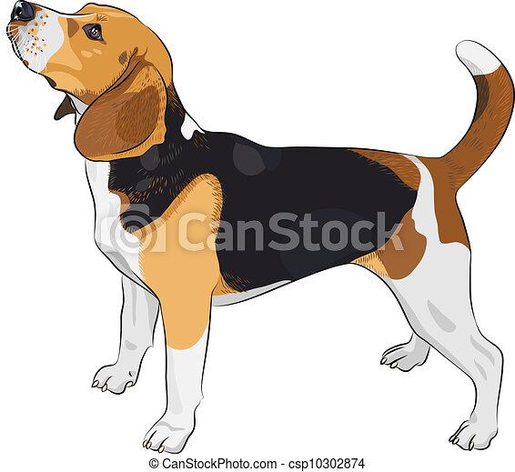 Vector Sketch Hund Beagle Rasse. - csp10302874