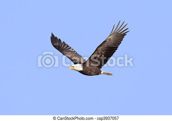 Weißkopfadler (haliaeetus leucocephalus) - csp3937057