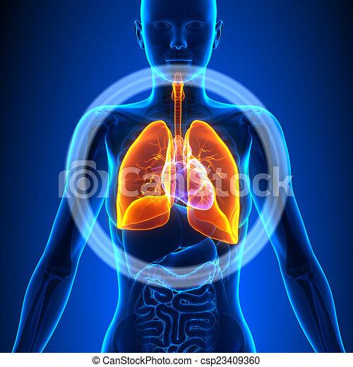 weibliche , lungen, -, koerperbau, menschliche , organe - csp23409360