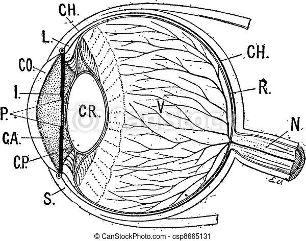 Iris, klassische Gravur. - csp8665131