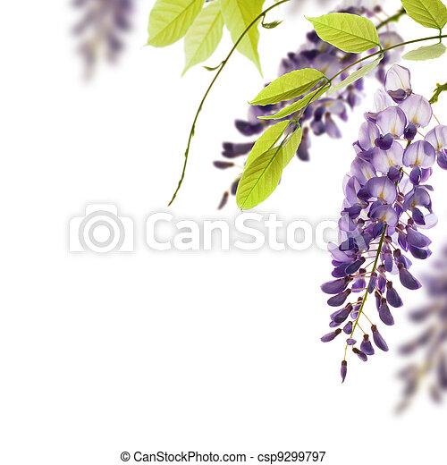 Wisteria-Blumen, Grün verlässt die Grenze für einen Winkel über einen weißen Hintergrund. Dekoratives Element - csp9299797