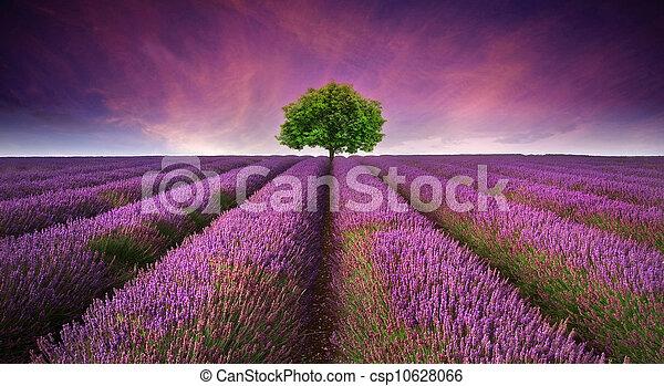 Wunderschönes Bild von Lavendel Feld Sommer Sonnenuntergänge Landschaft mit einem Baum am Horizont kontrastierende Farben. - csp10628066