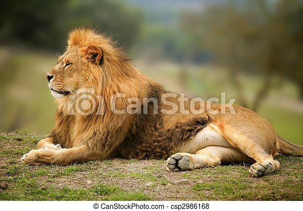 Wunderschönes Löwen-wildes männliches Tierbild - csp2986168