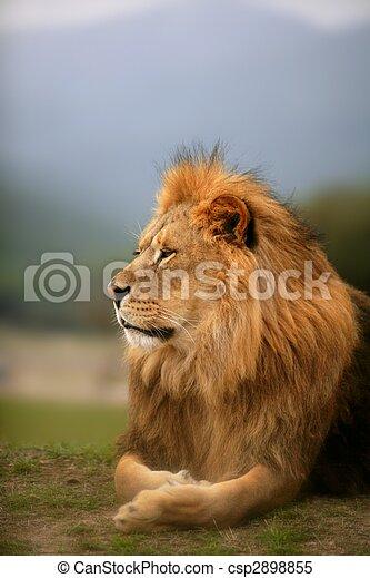 Wunderschönes Löwen-wildes männliches Tierbild - csp2898855