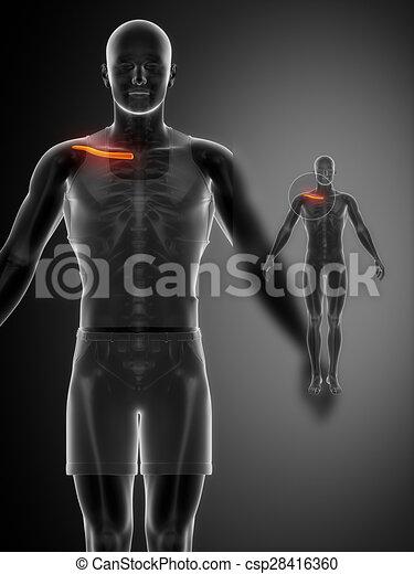 x--ray, schwarz, schlüsselbein, beinen ultraschallaufnahme - csp28416360