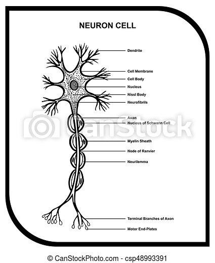 Menschliche Neuronzellenanatomiediagramm - csp48993391