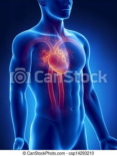 Kreislaufsystem, männliche Anatomie, Röntgenblick - csp14293210