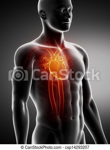 Kreislaufsystem, männliche Anatomie, Röntgenblick - csp14293207